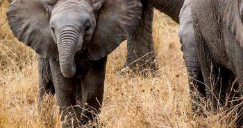elephant-baby-285515_960_720