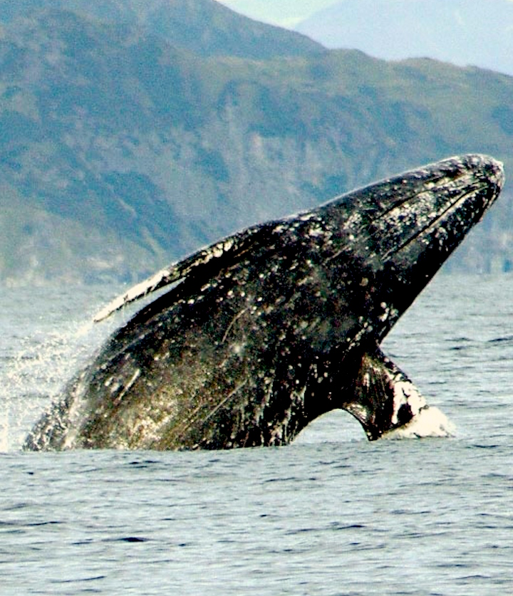 A breaching whale in the Sea of Cortez