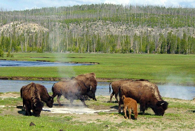 Bisons in Yellowstone, Credit- wikipedia