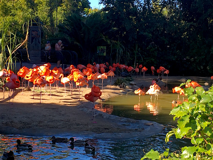 Flamengos at the zoo