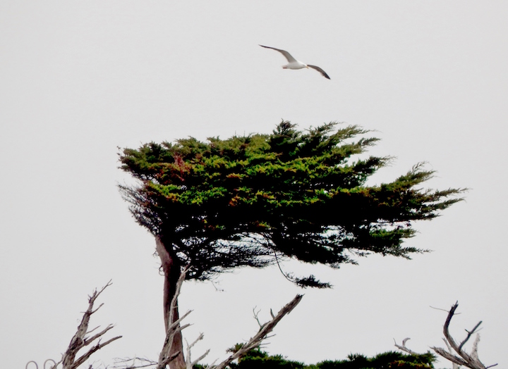 Monterey-wild-blown-cypress