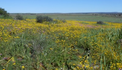 Wildflowers in Namaqualand, South Africa