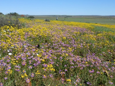 Wildflowers in Namaqualand