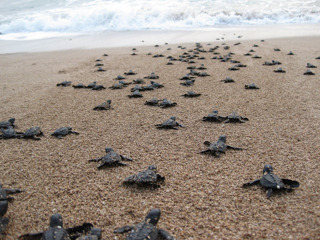baby sea turtle- credit-google images