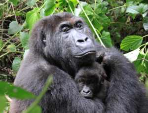 Eastern Lowland Gorilla - (by Congo Project)
