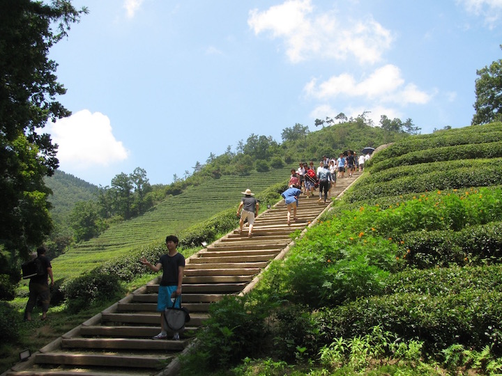steep steps lead you up past some tea bushes to terraces of hundreds of tea bushes