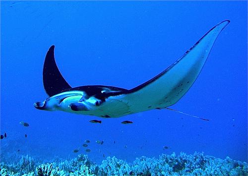 Giant Manta Rays in Hawaii, Credit-tumblr