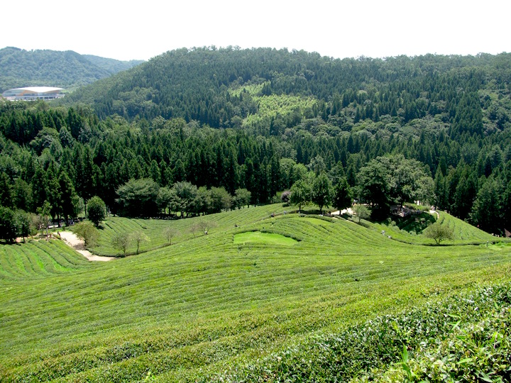 from the top of the hill you get a sweeping view over part of the tea plantation